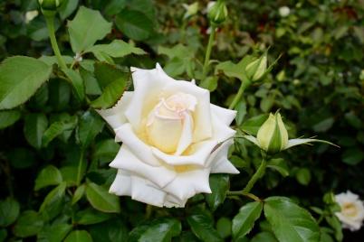 Caroline of Monaco rose @CelinaLafuenteDeLavotha