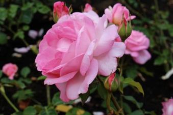 Grace of Monaco rose @CelinaLafuenteDeLavotha