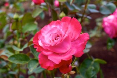 Prince Albert II of Monaco rose @CelinaLafuenteDeLavotha