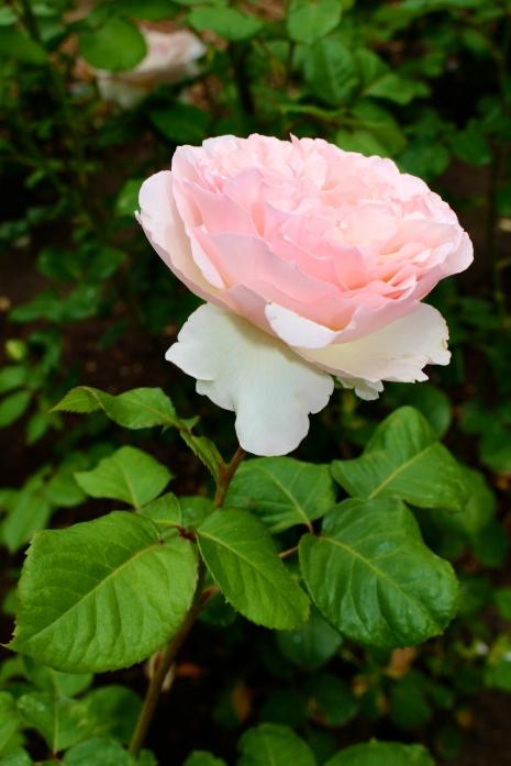 Princess Charlene Rose @CelinaLafuenteDeLavotha
