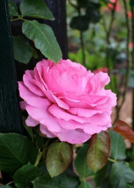 Yves Piaget rose (copyright Celina LdL)