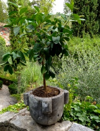 Lemmon tree @CelinaLafuenteDeLavotha