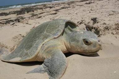 Kemp's_Ridley_sea_turtle_nesting