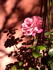A rose and its shadow @CelinaLafuenteDeLavotha
