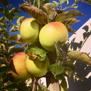 Apple tree in the garden @CelinaLafuenteDeLavotha