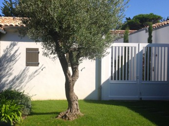 The Olive tree in the patio @CelinaLafuenteDeLavotha