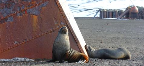 Sealions in Antarctica @034 EdWrightImages_Antarctica 2015_3754 - copie