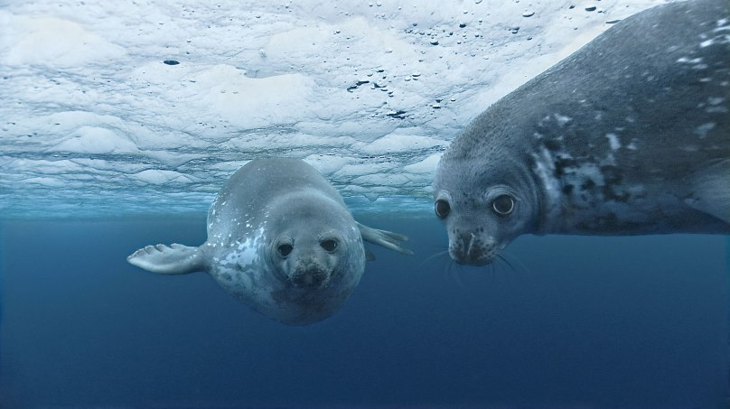 Weddell Seal_Terre Adelie Antarctic (Disney) @BLUE photo archives