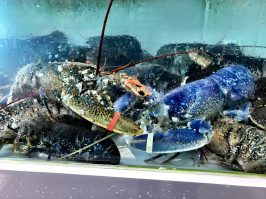 Blue lobster at the fishmonger @CelinaLafuentedeLavotha