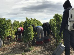 Picking up the grapes the first day of the harvest @CelinaLafuentedeLavotha