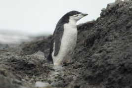 Penguins - Antarctic Blanc@Gost Jochen Verne-2151