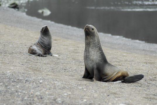 Seals - Antarctic Blanc@Gost Jochen Verne-2132
