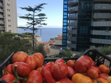 Basket of organic grown tomatoes harvested in the vegetable garden of the Odeon Tower @TDM
